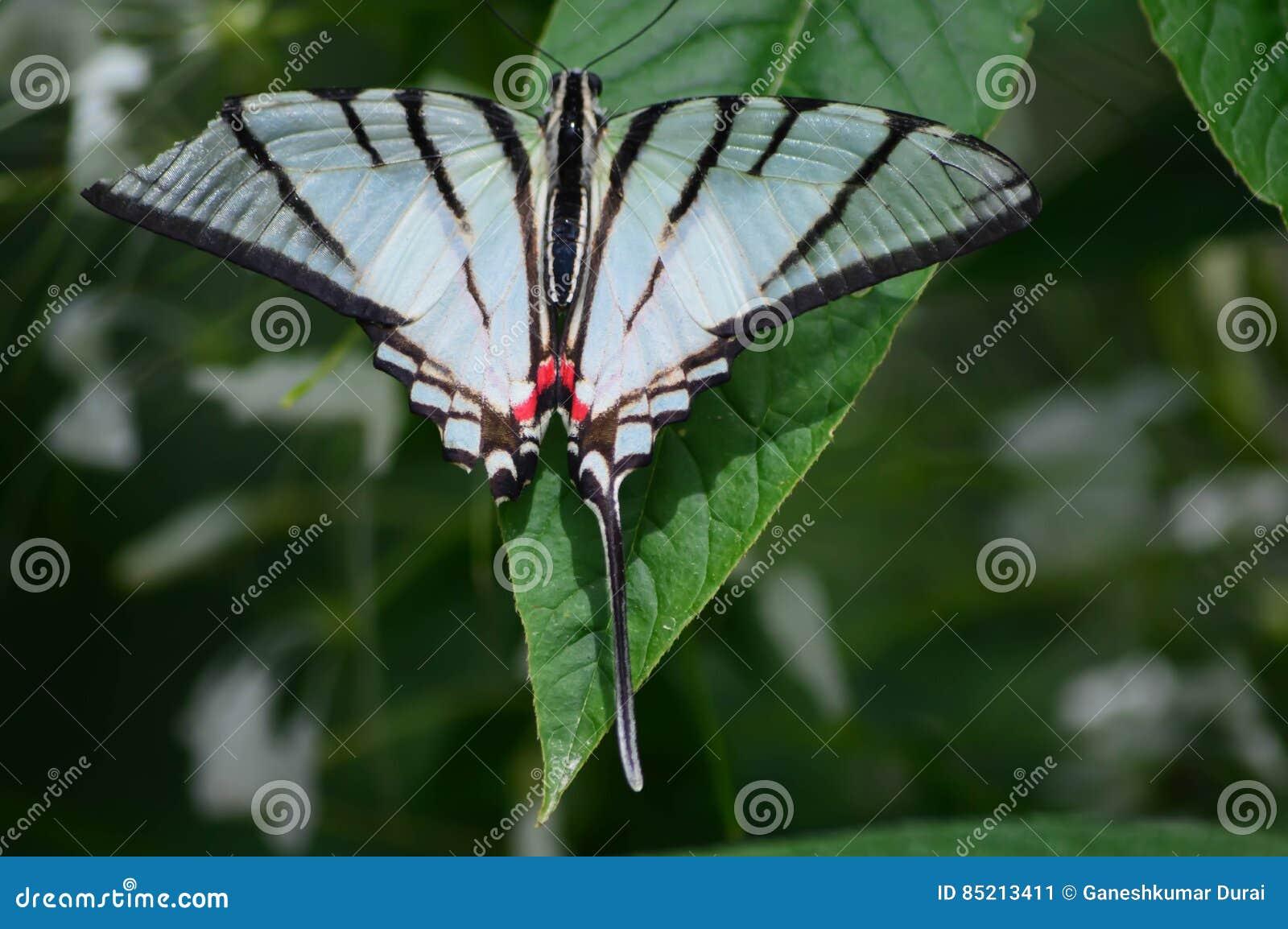 Pappers- drakefjäril
