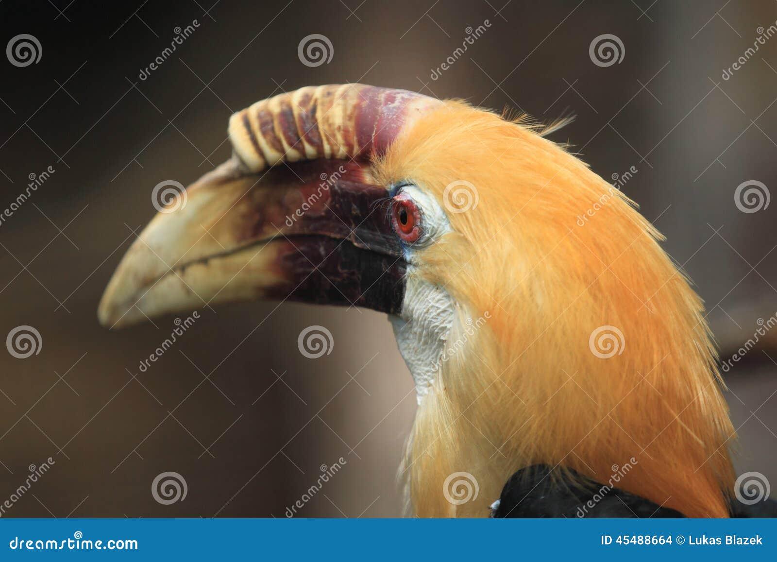 Papuan犀鸟