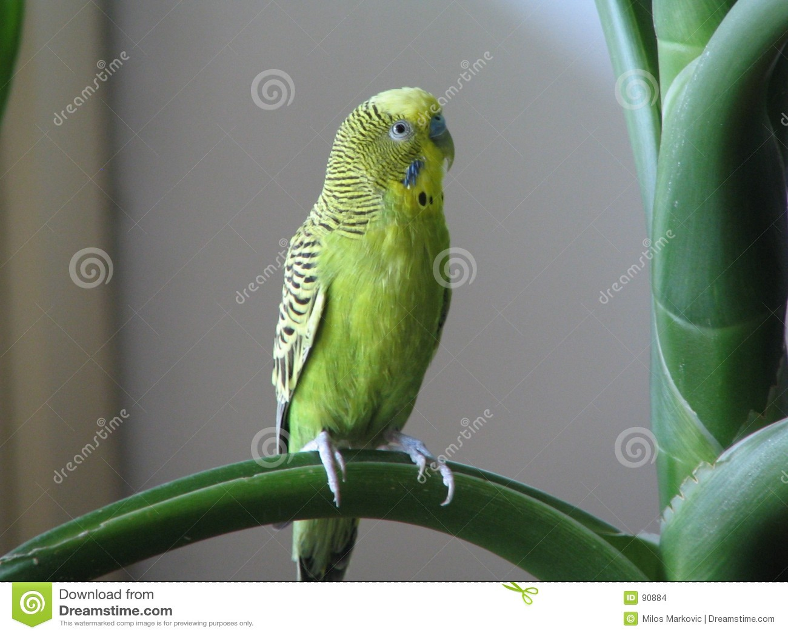 Papuga australijska