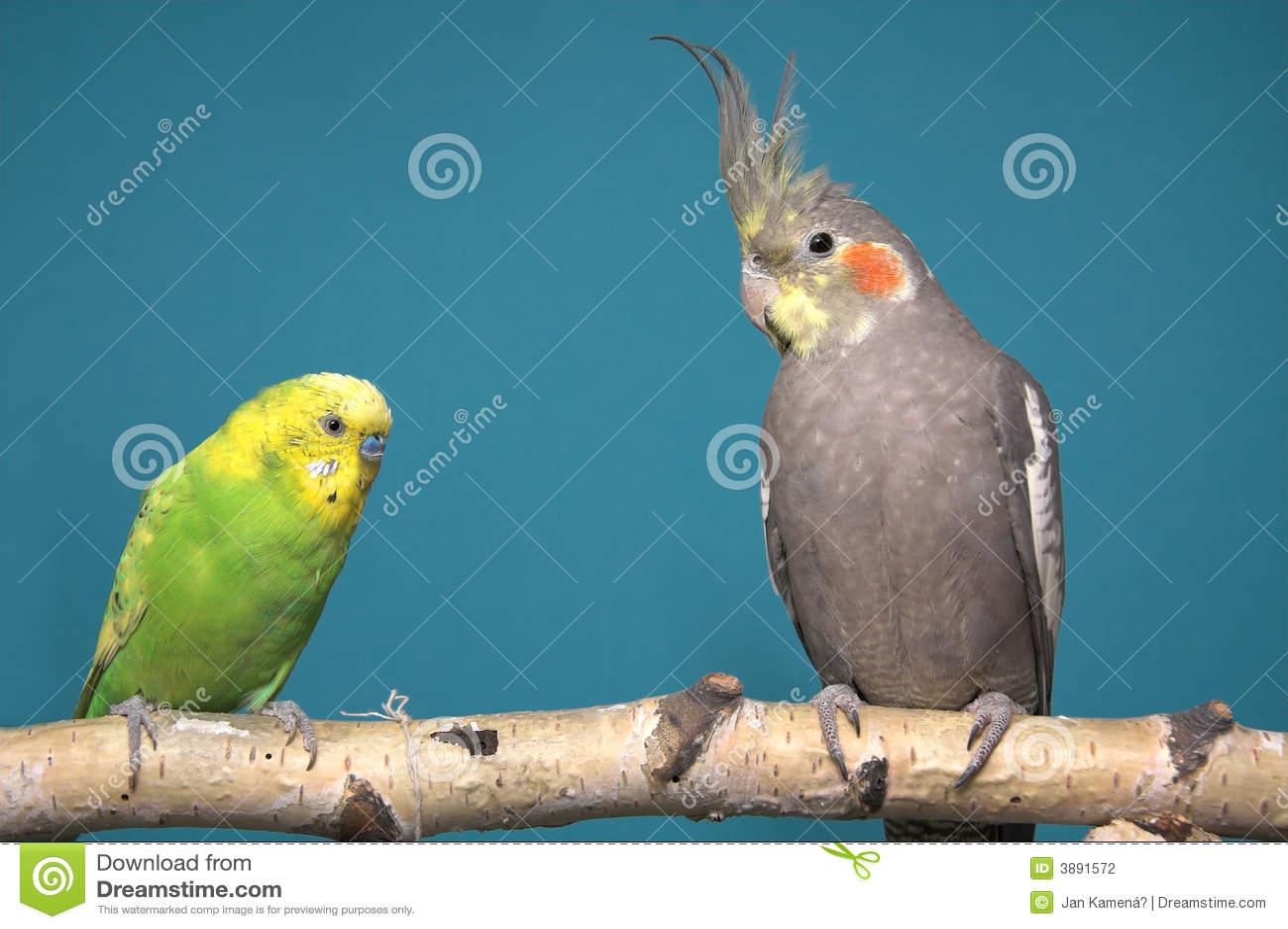 Papuga cockatiel