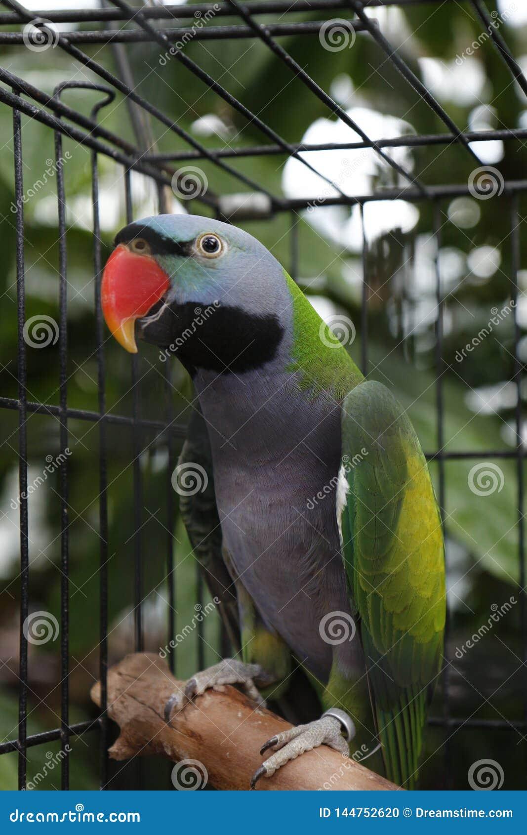 Papuga klatki