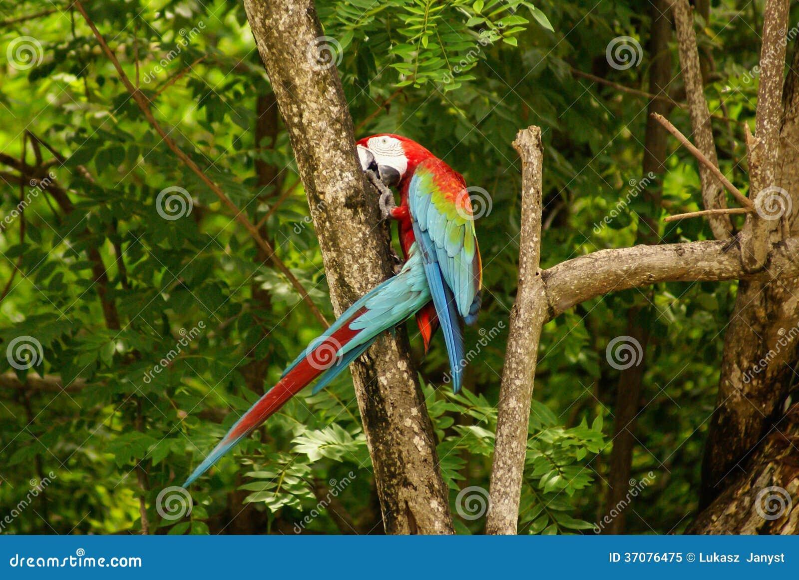 Download Papuga W Parku, Wyspa Mucura, Kolumbia Obraz Stock - Obraz złożonej z papuga, żerdź: 37076475