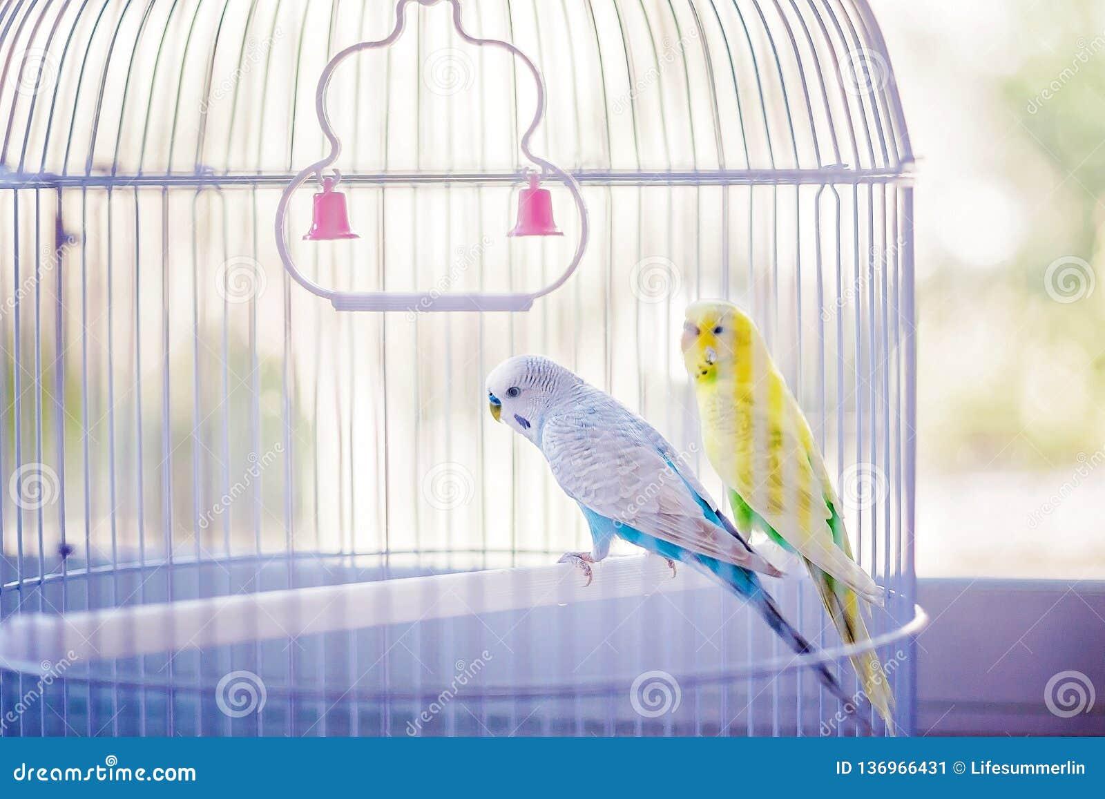 Papugi błękitny kolor żółty