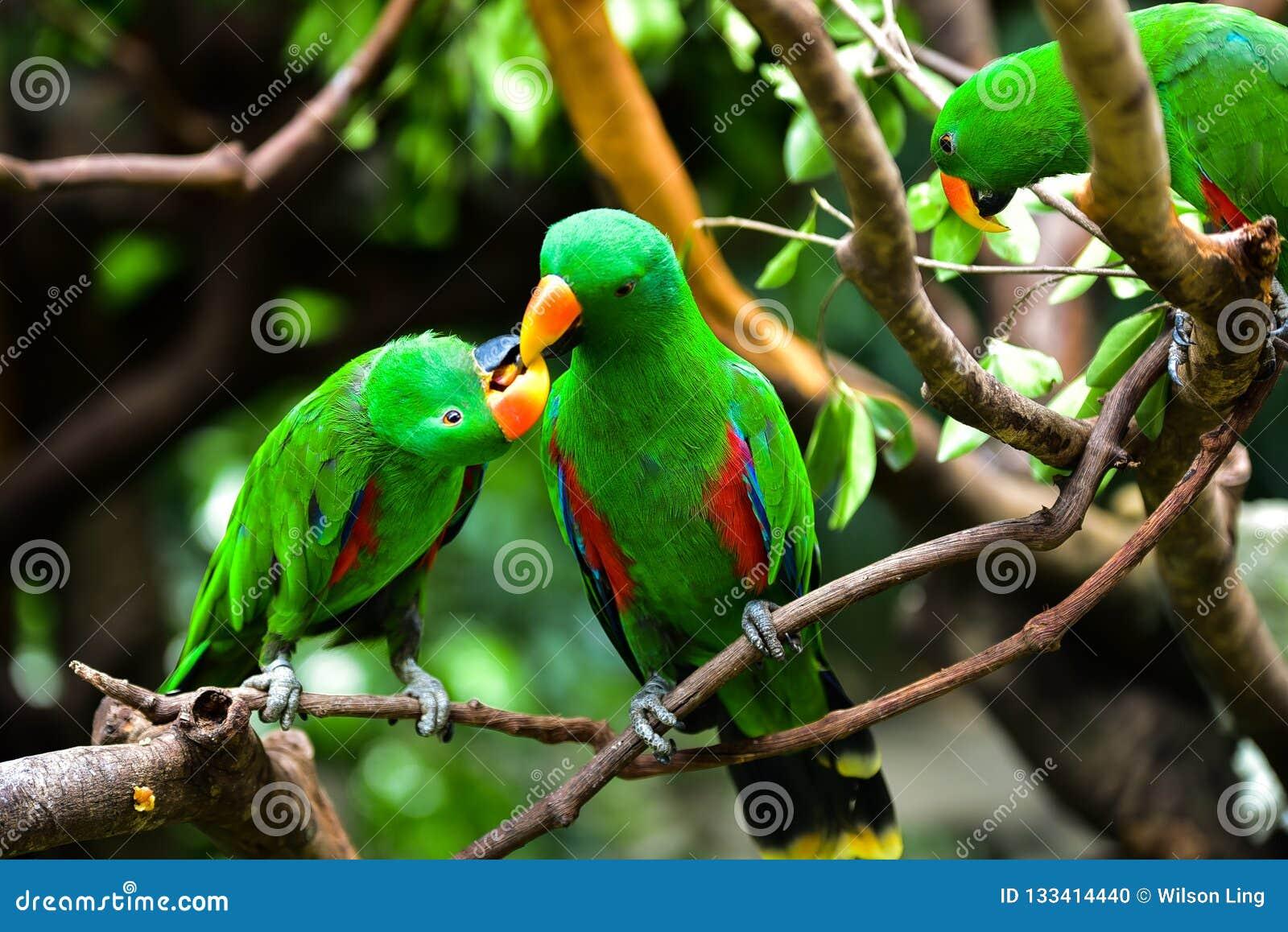 Papugi walentynka
