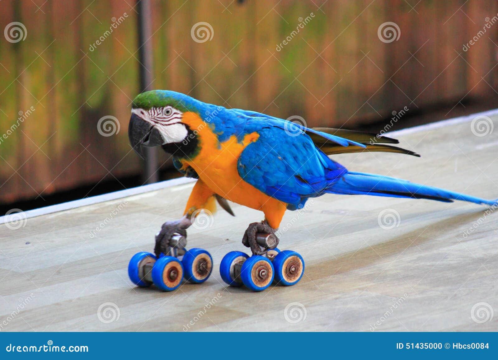 Papuzi łyżwiarstwa przedstawienie