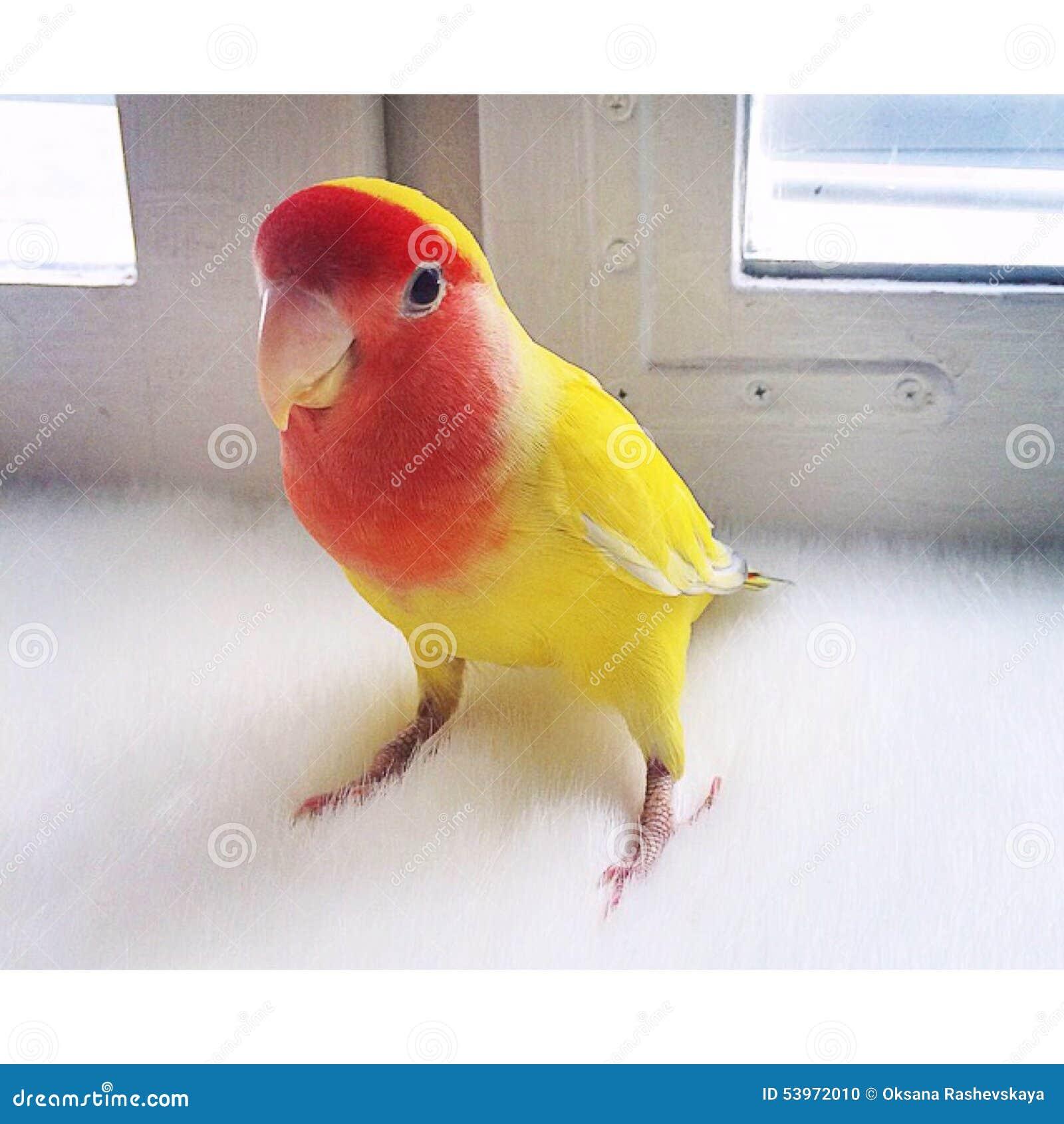 Papuzi Lovebird