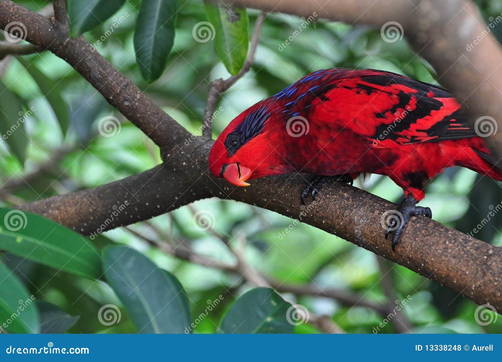 Papuzia błękit czerwień