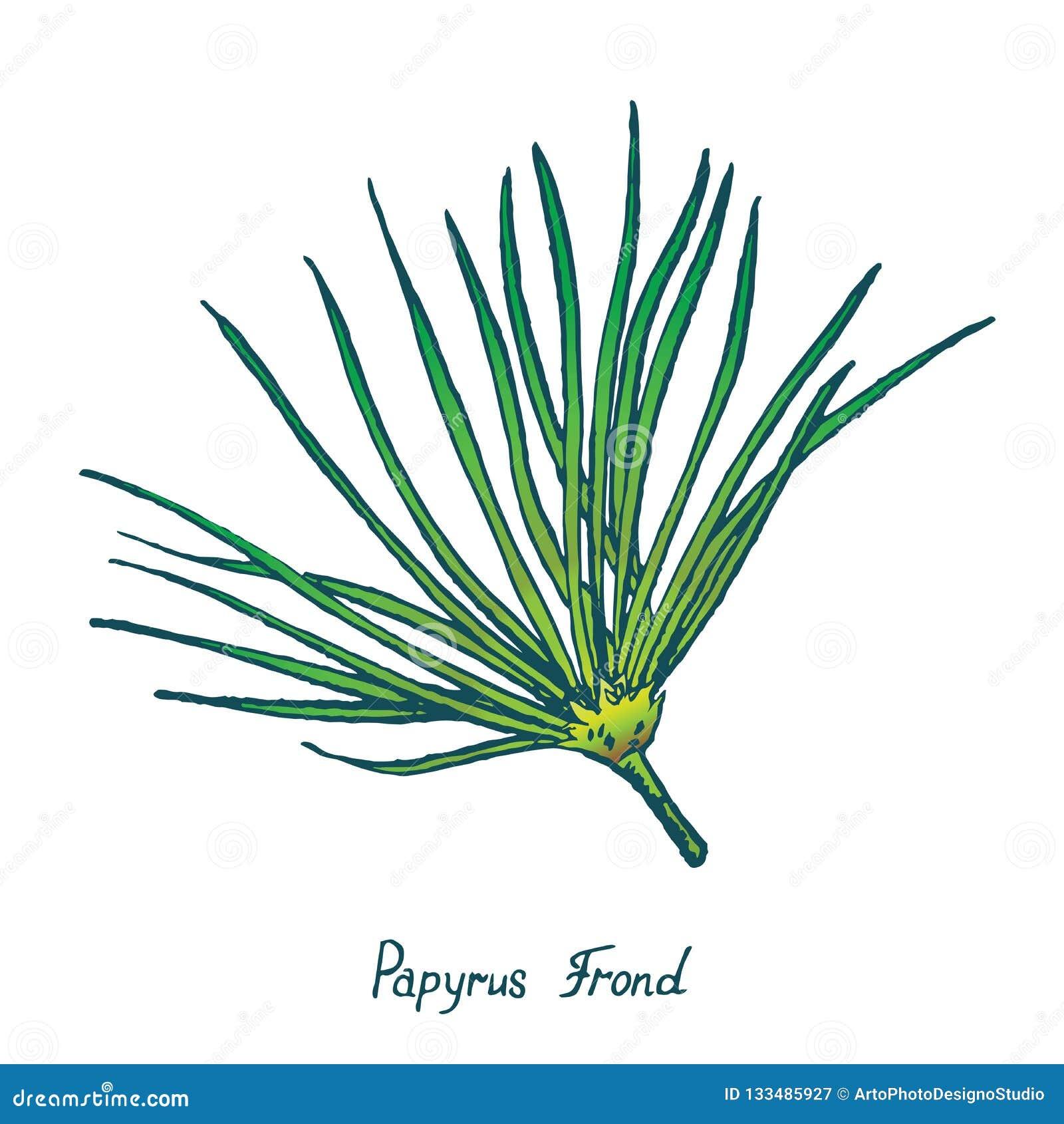 Papyrus De Cyperus De Feuille De Papyrus Cadeau Du Nil