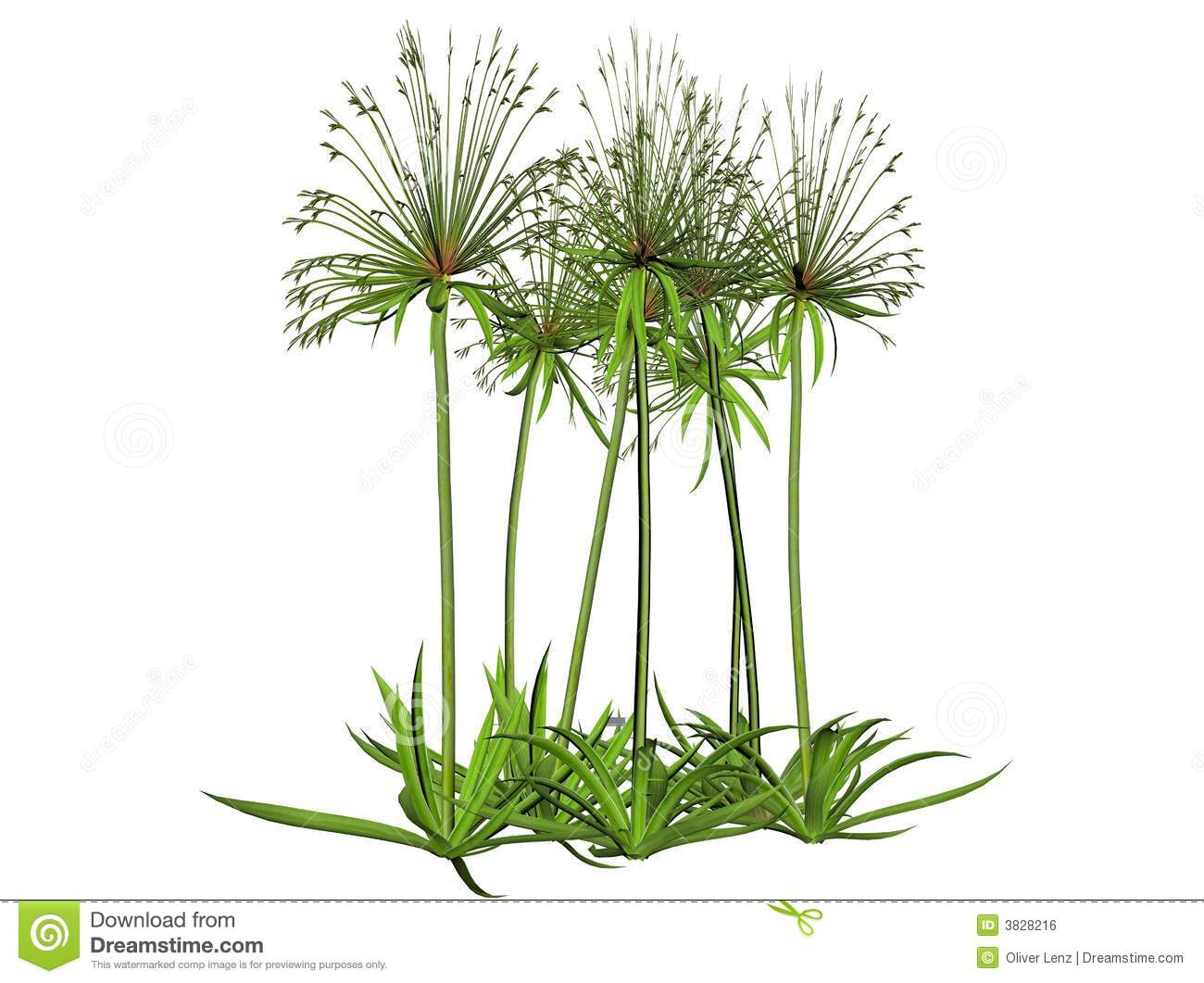 Papyrus Plant Royalty Free Stock Image - Image: 3828216