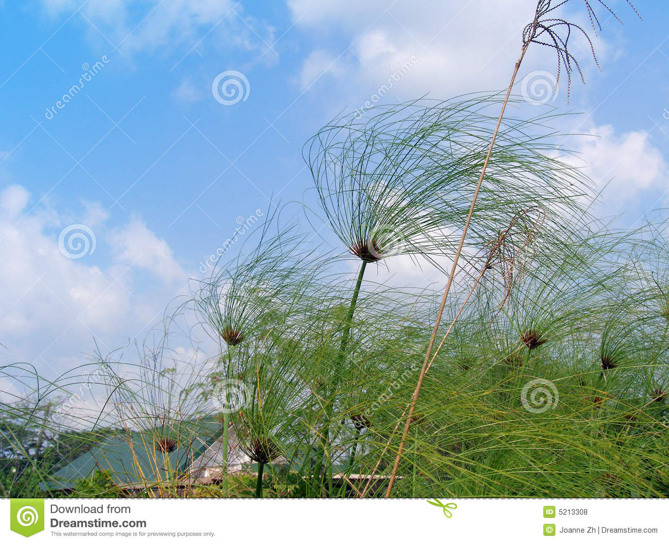 Papyrus in the wind