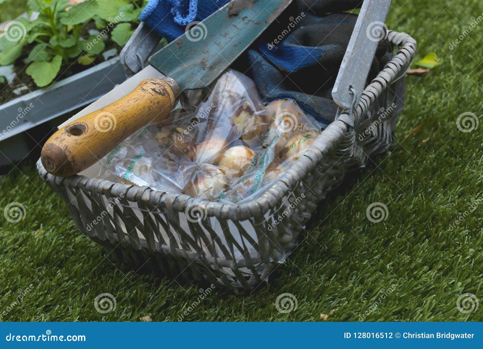 Paquete de los bulbos de Narcissus Minow con una paleta y de los guantes en un trug de la cesta de mimbre