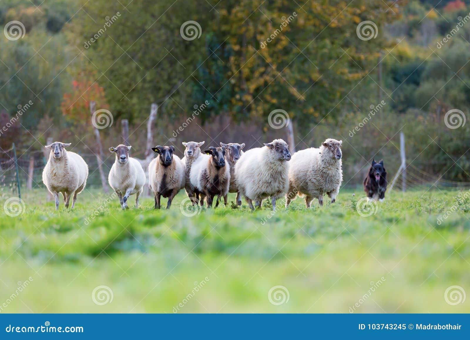 Paquete de ovejas con un perro de pastor australiano