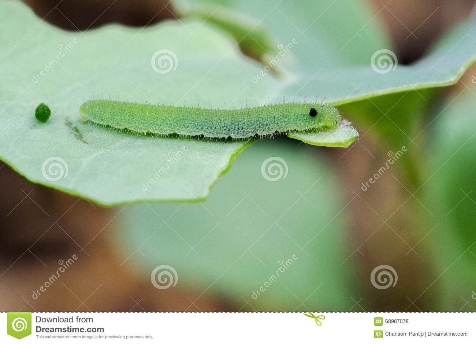 Parásito verde minúsculo del jardín del gusano que come la verdura verde en VE orgánica