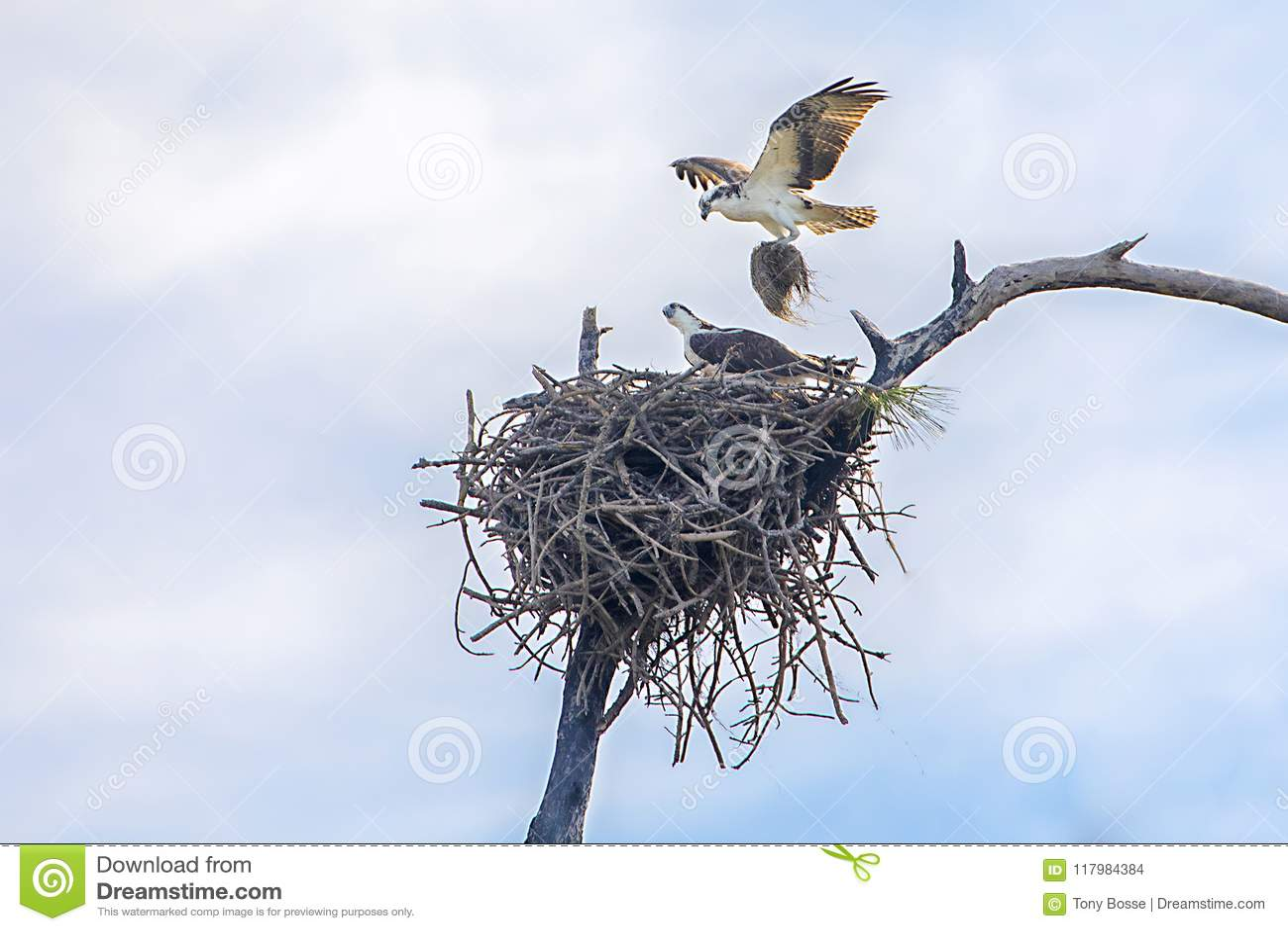 Par av att bygga bo Ospreys, Seahawks som bygger ett rede