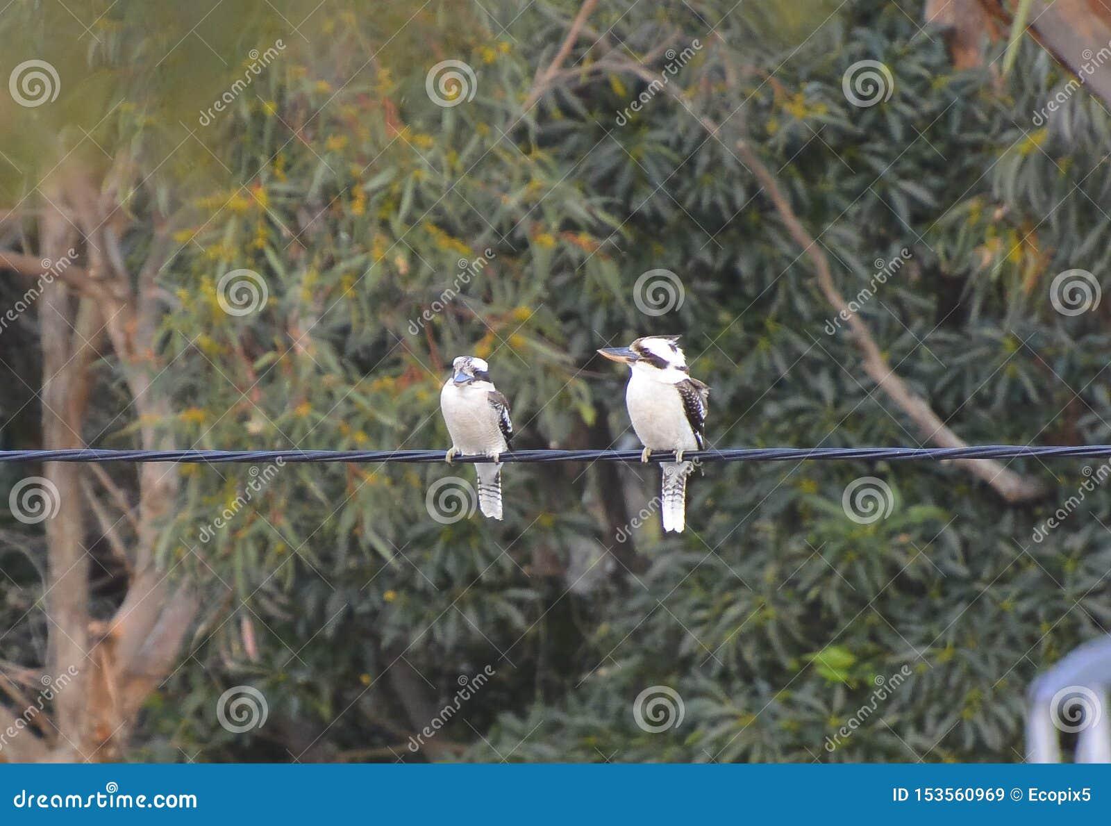 Par av att skratta skrattfåglar