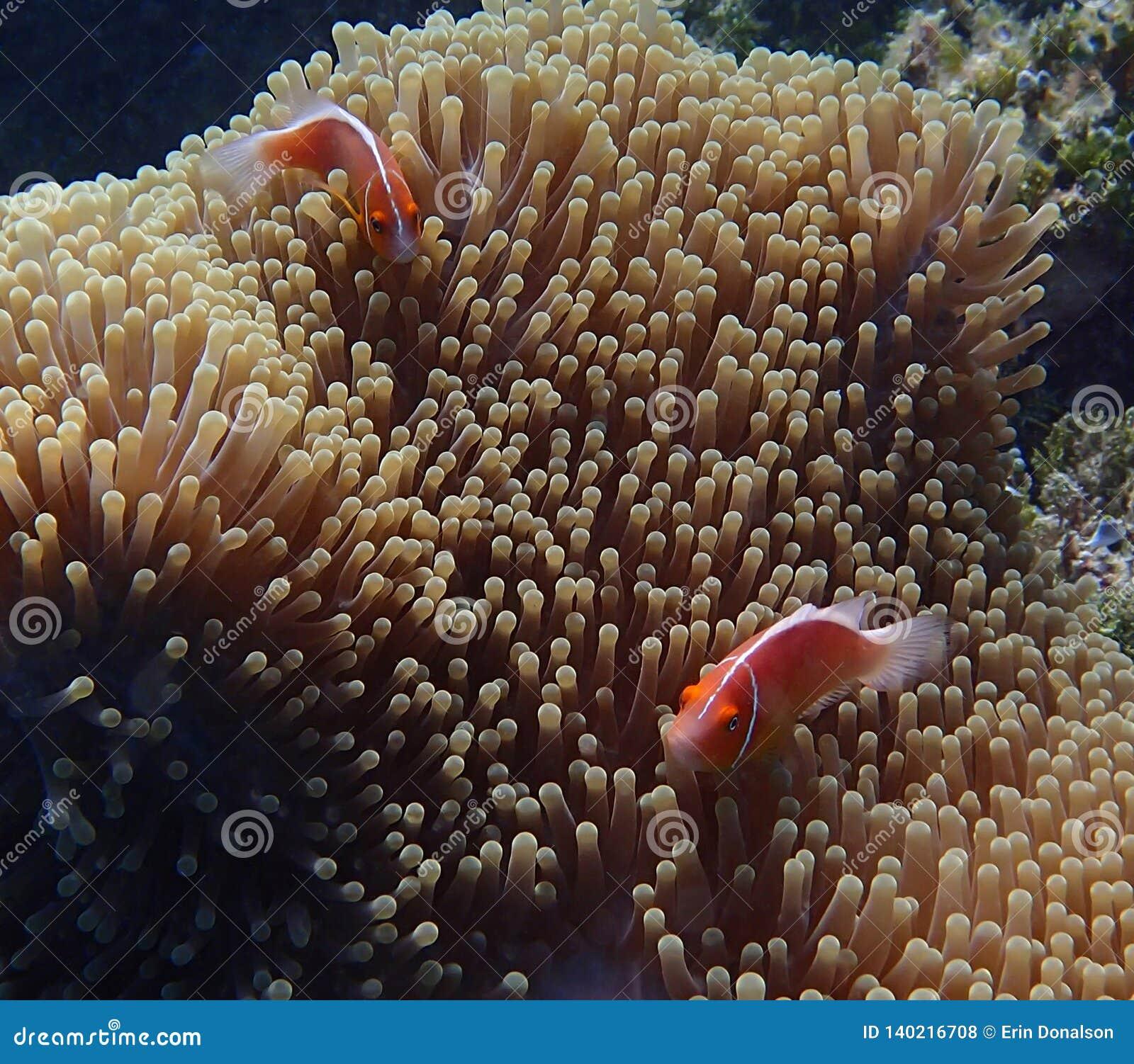 Par av den ljusa tropiska fisken i den undervattens- stora anemonen