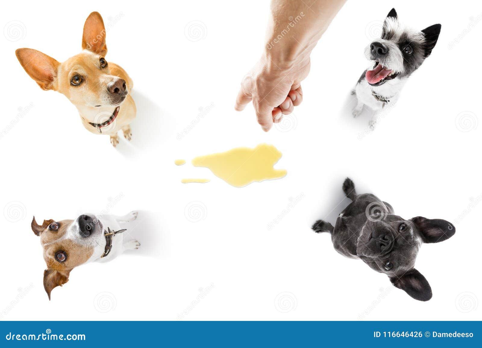 Par av hundkapplöpning kissar urin hemma