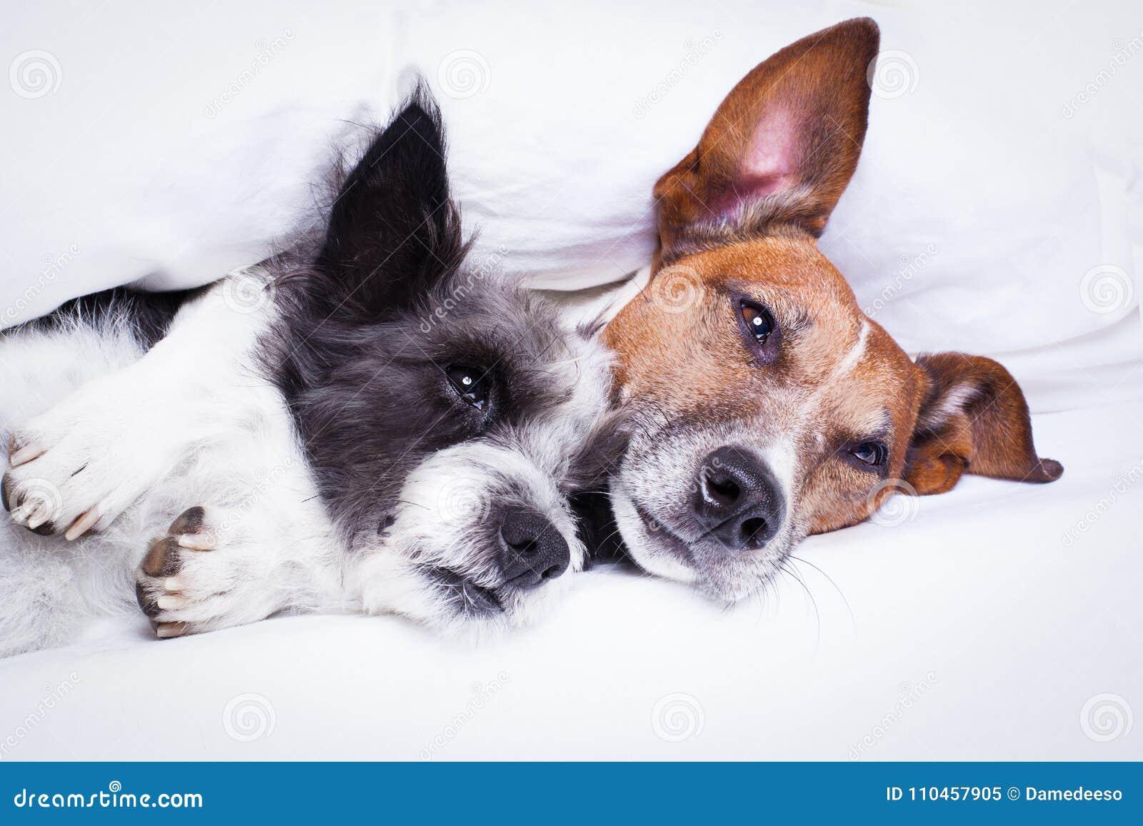 Par av hundkapplöpning som är förälskad i säng