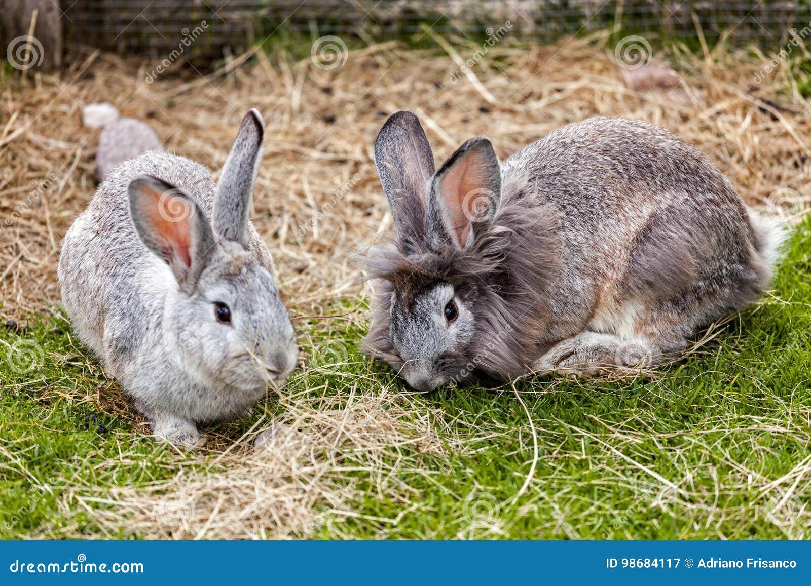Par av kaniner