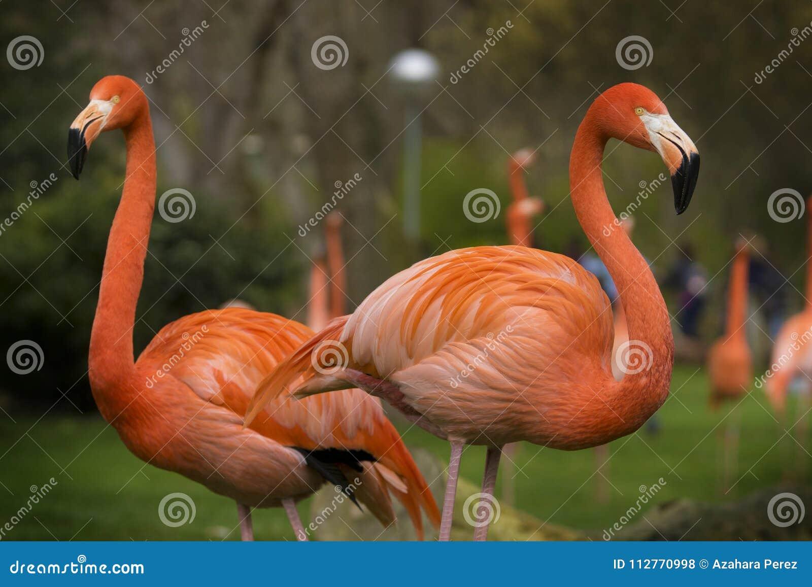 Par av karibiska flamingo på en molnig dag