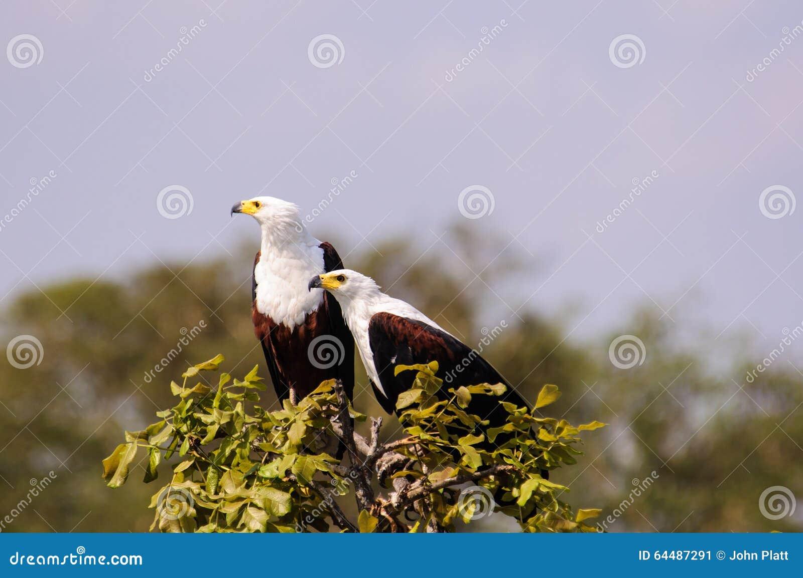 Para Afrykański Rybi Eagles przy wierzchołkiem drzewo