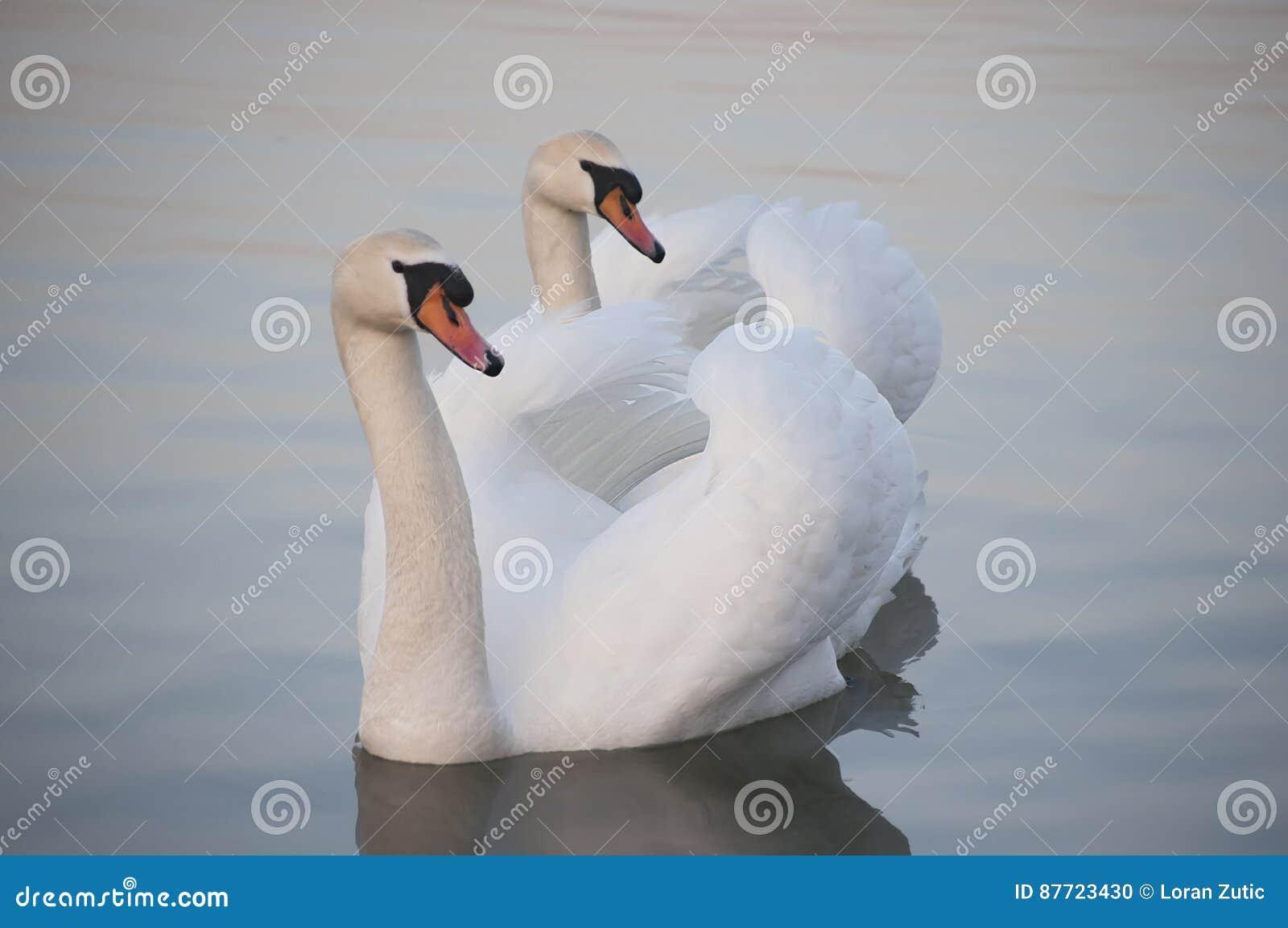 Para biali łabędź