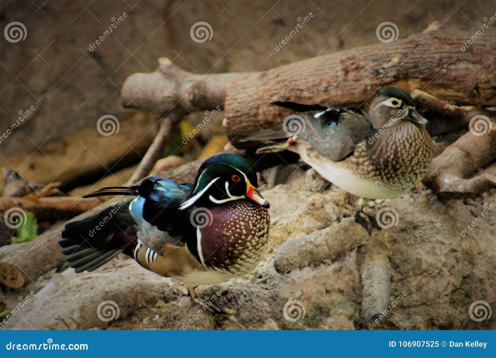 Para drewniane kaczki przy Waszyngtońskim zoo