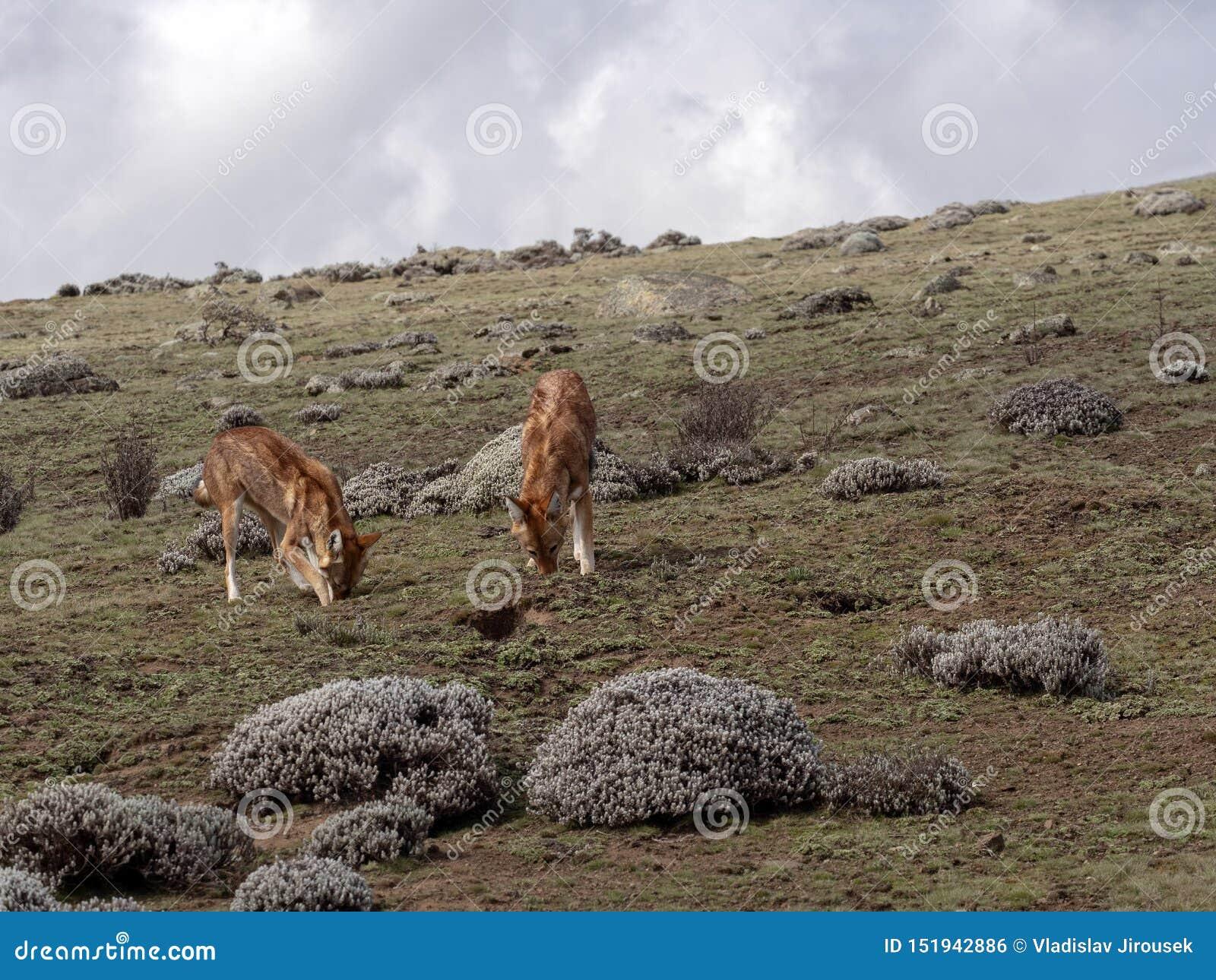 Para Etiopski wilk, Canis simensis, Tropi Przewodzącego Łowieckiego Afrykańskiego szczura, Sanetti plateau, bela park narodowy, E