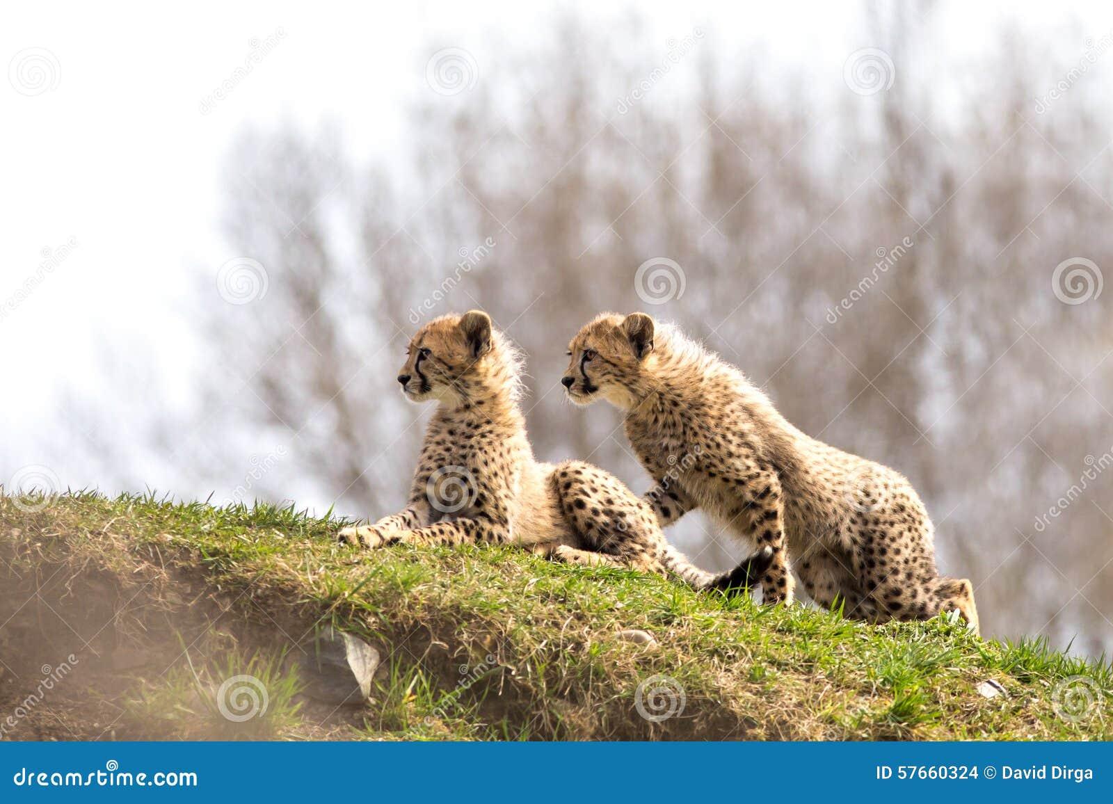 Para gepardów lisiątka