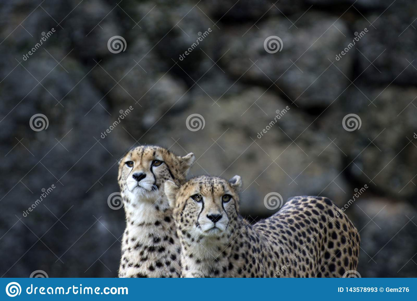 Para gepardy w parku