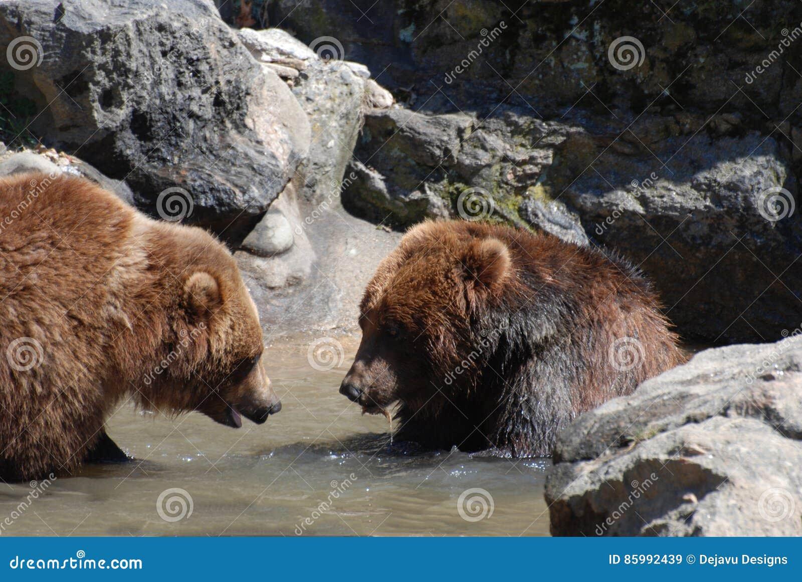 Para grizzly niedźwiedzie Watuje w Płytkiej rzece