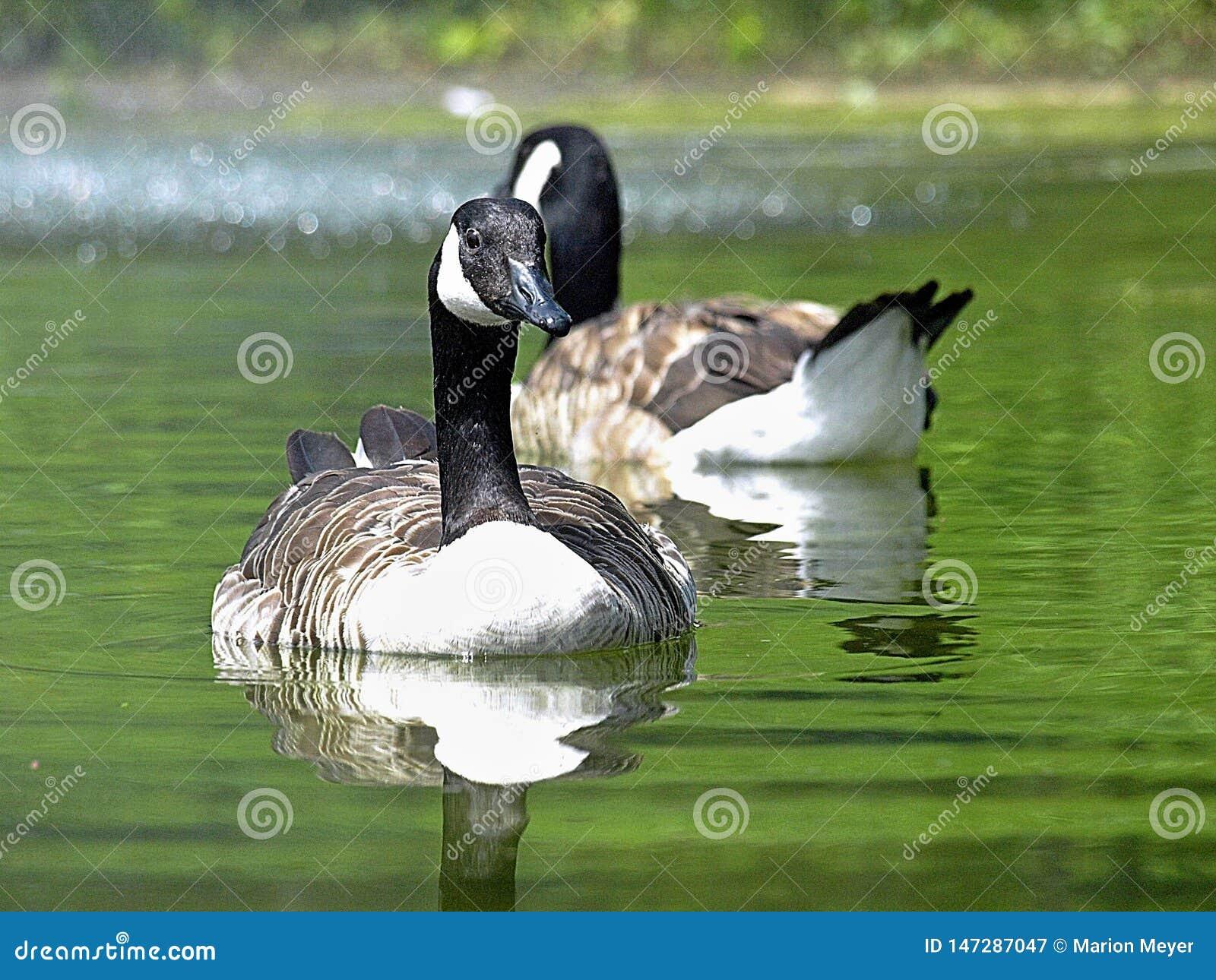 Para kanadyjski gąsek pływać