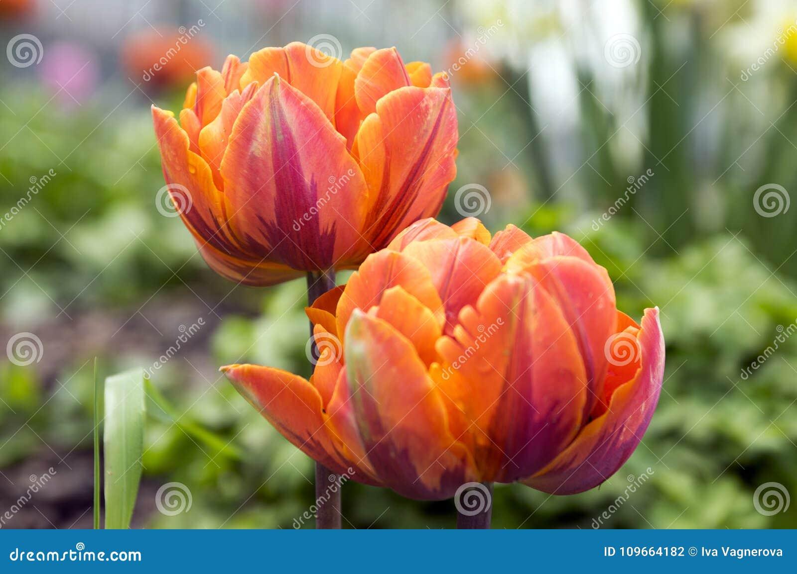 Para kolor szczekająca piękna wiosny pomarańcze, czerwieni i koloru żółtego kopia, kwitnie tulipany w kwiacie w świetle słoneczny
