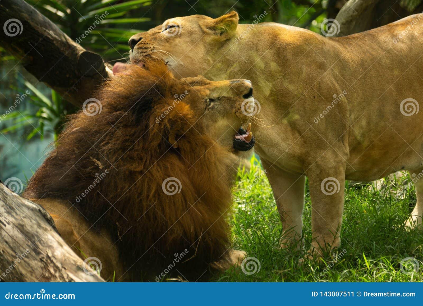 Para lwów kochankowie daje uściśnięciu