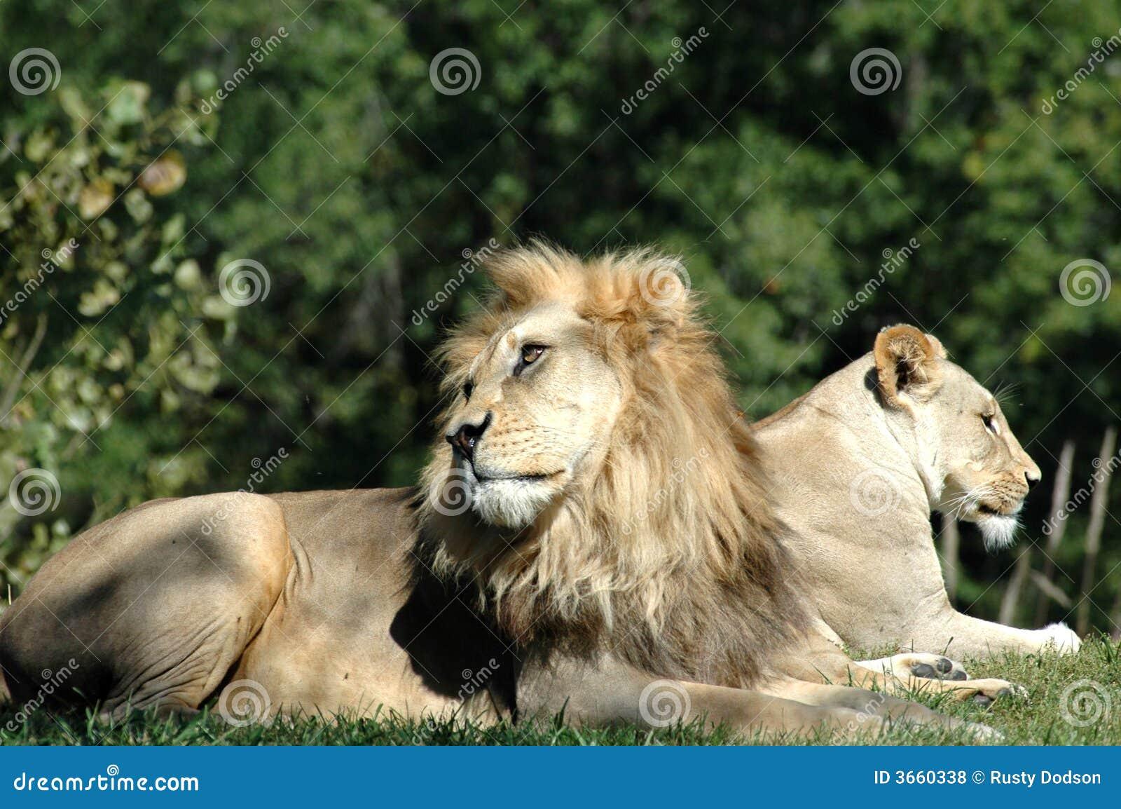 Para lwa afrykańskiego