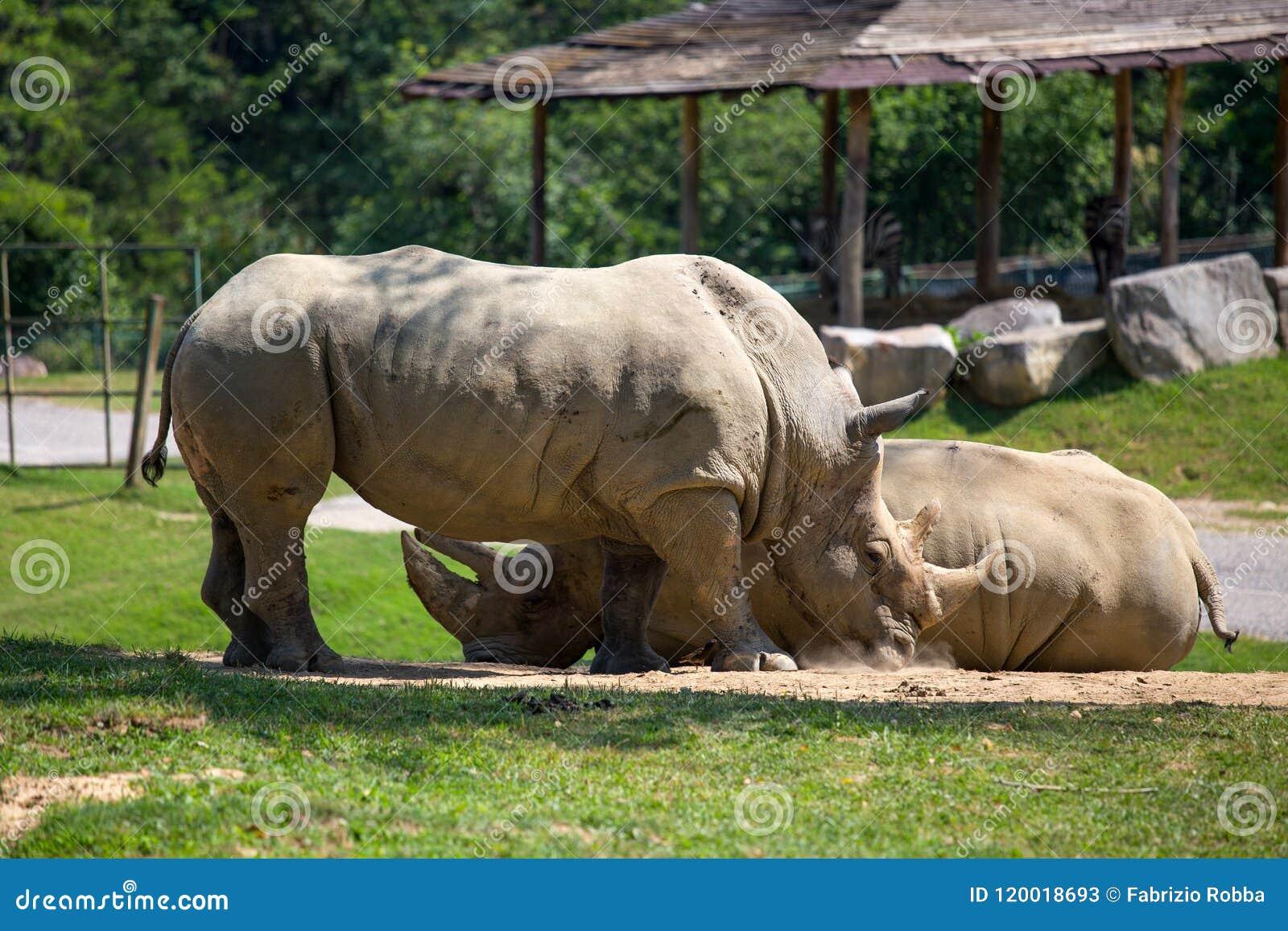 Para nosorożec w pyle