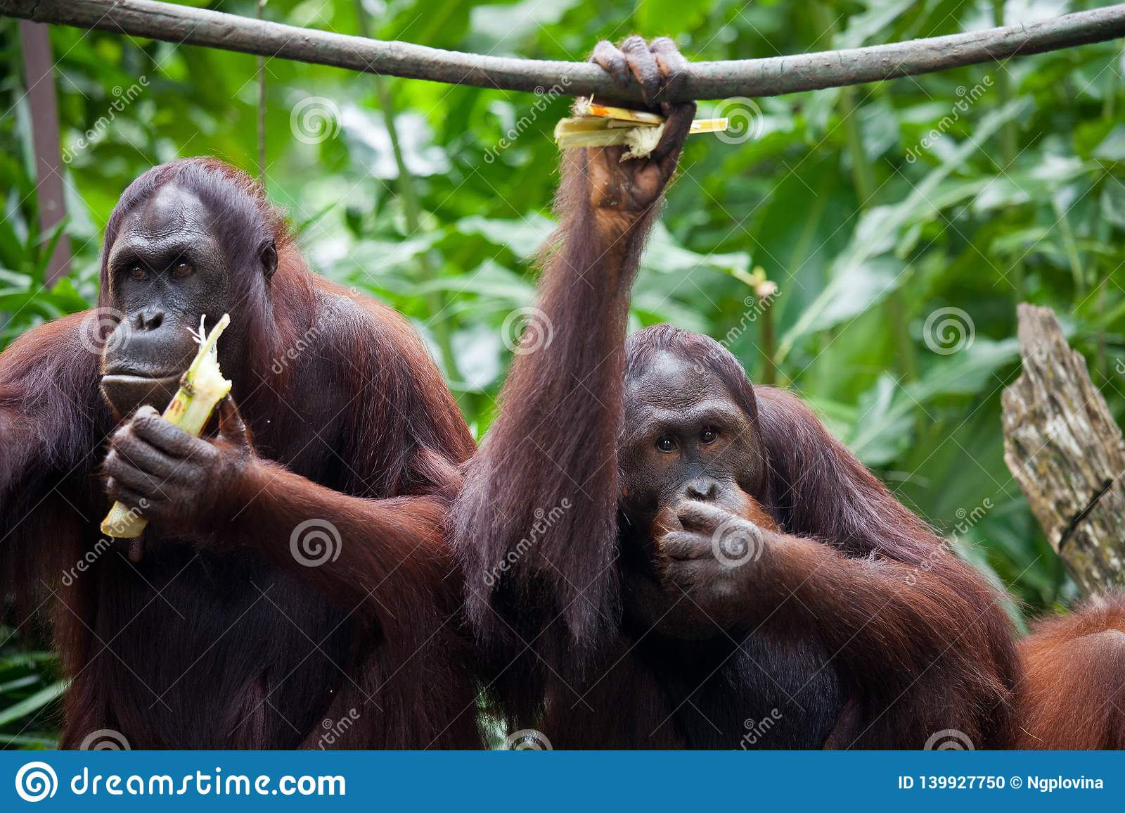 Para orangutangståendesikten Sittande och eatting sidor för orangutang två i den Singapore zoo