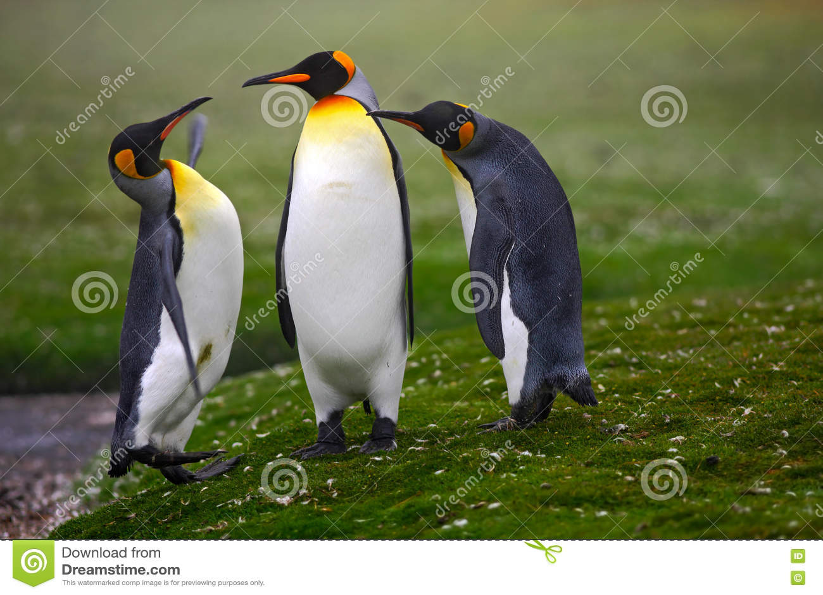Para pingvin Para ihop konungpingvin med grön bakgrund i Falkland Islands Par av pingvin, förälskelse i naturen härligt