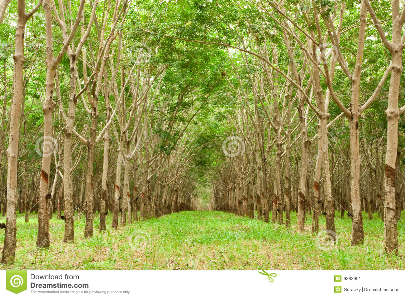 Para Rubber Tree Gerdenning In Thailand Stock Image - Image: 9863991