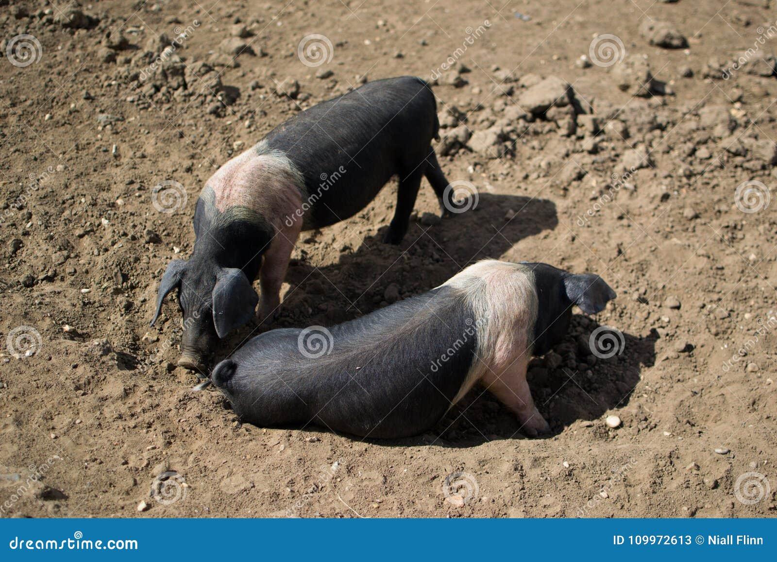 Para Saddleback świnie, brud
