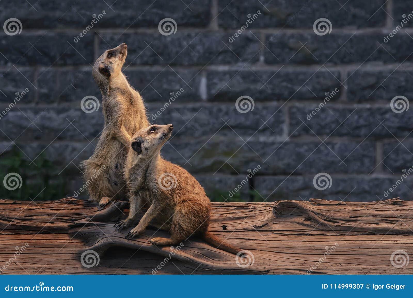 Para uroczy puszyści meerkats jest raźna i ciekawa patrzeć int