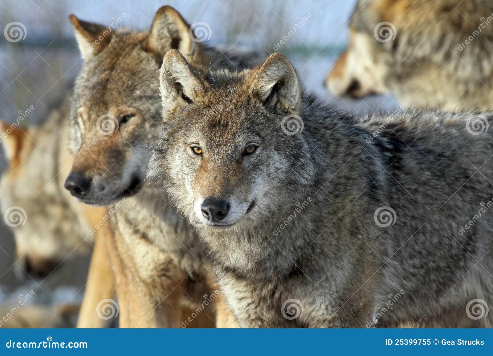 Para wilki