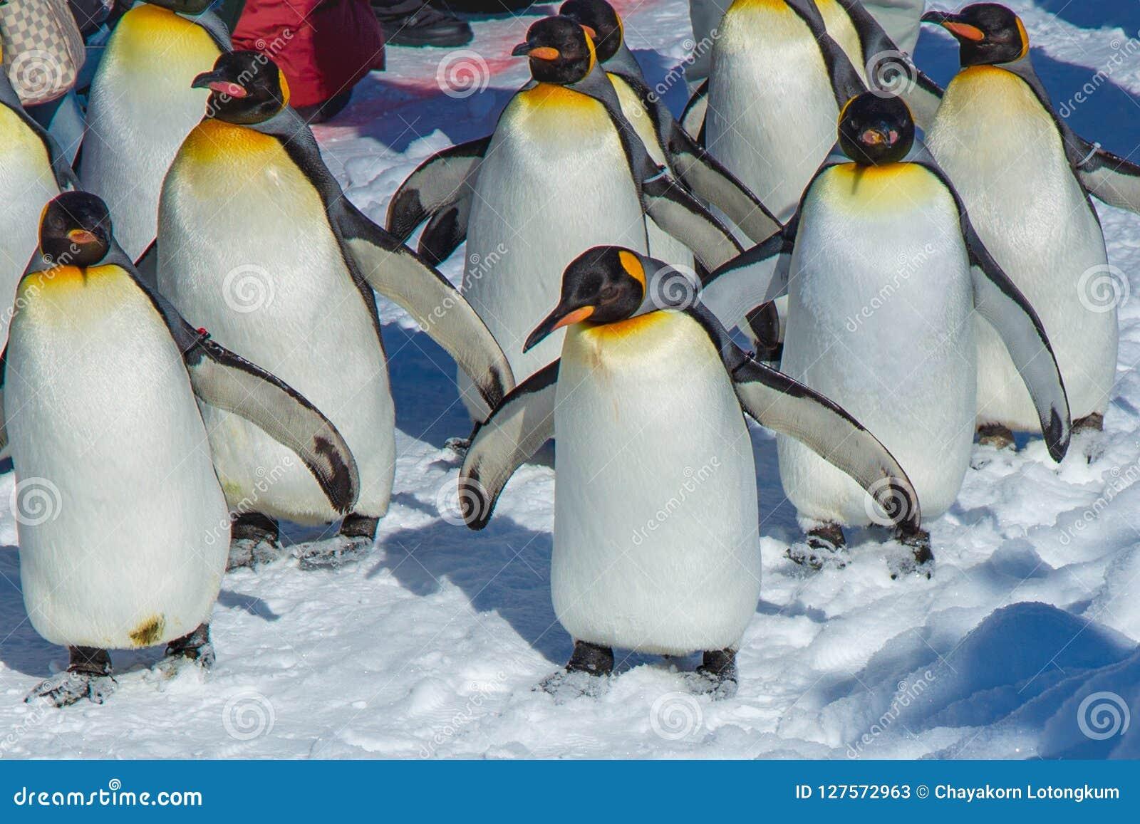 Parada dos pinguins pelo exercício de passeio exterior