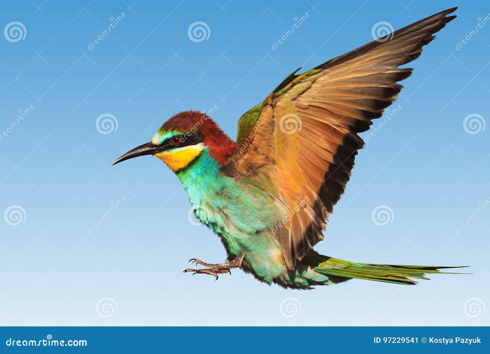 Paradise Bird In Flight Stock Image Image Of Energy 97229541