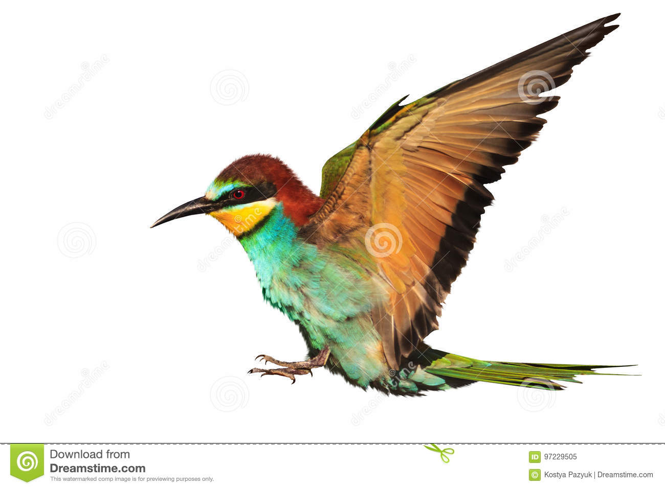 Paradise Bird In Flight Is Isolated On White Stock Image Image Of