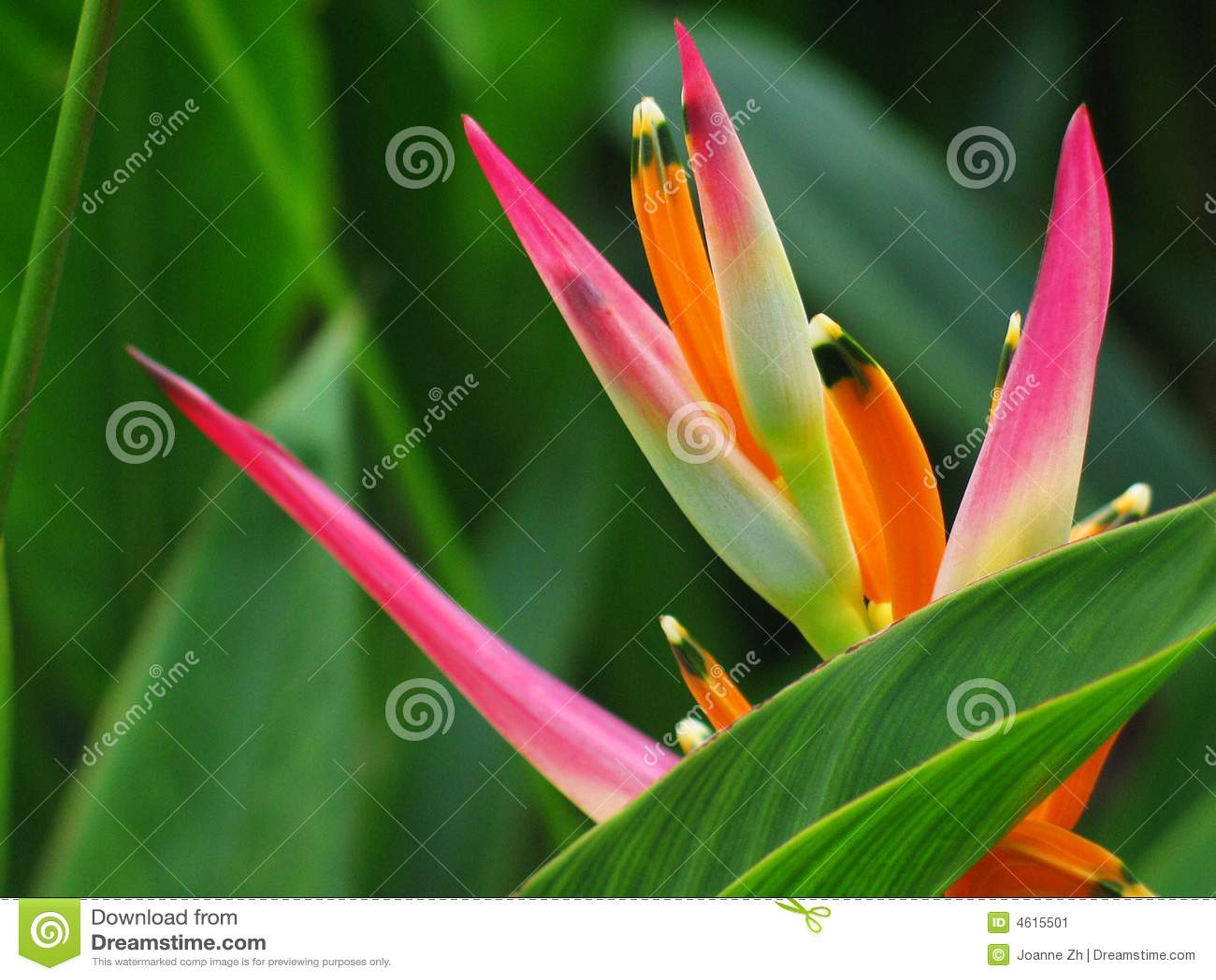 Paradiso dell uccello del fiore di Heliconia