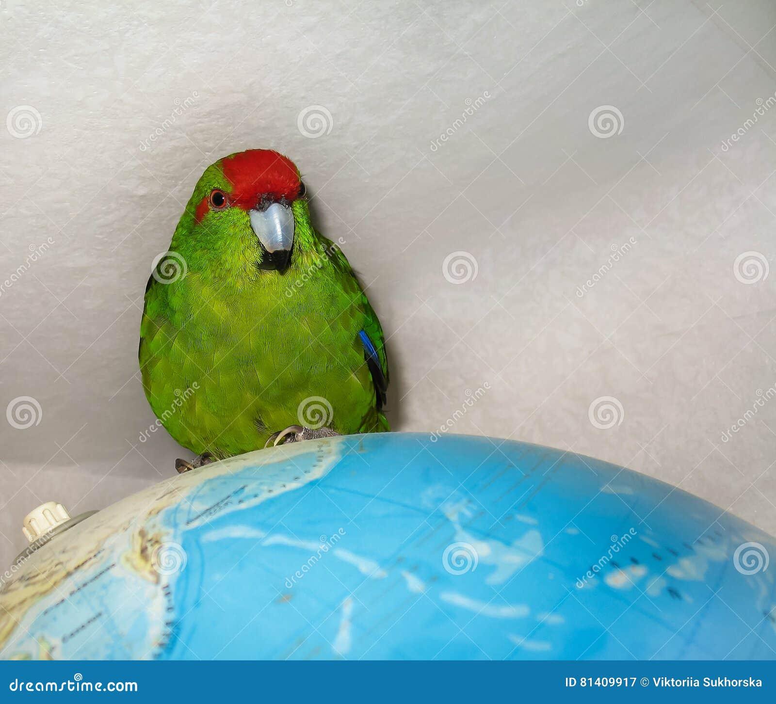 Parakeet увенчанный красным цветом Сидеть на глобусе карты мира