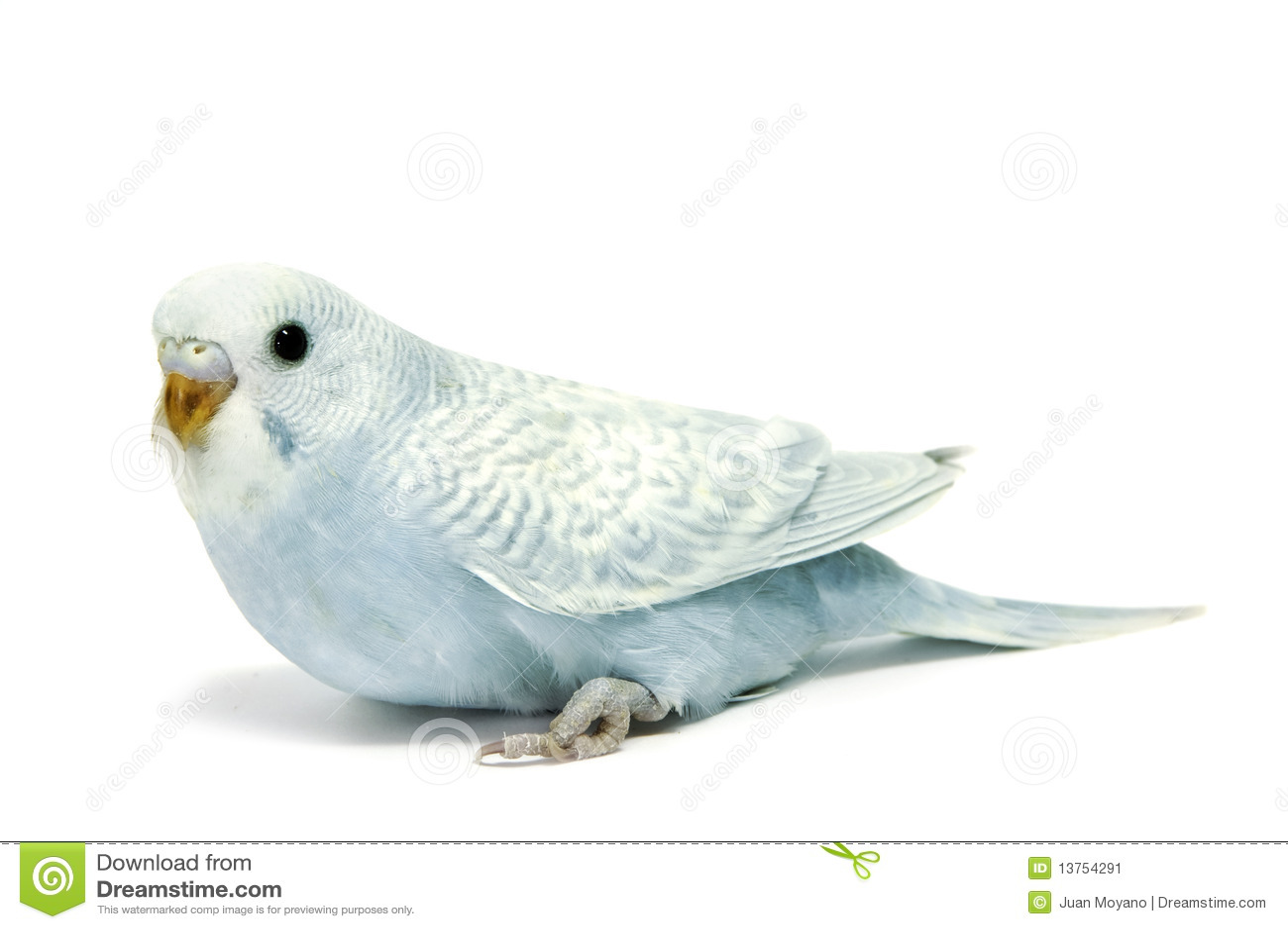 blue parakeet breeding...