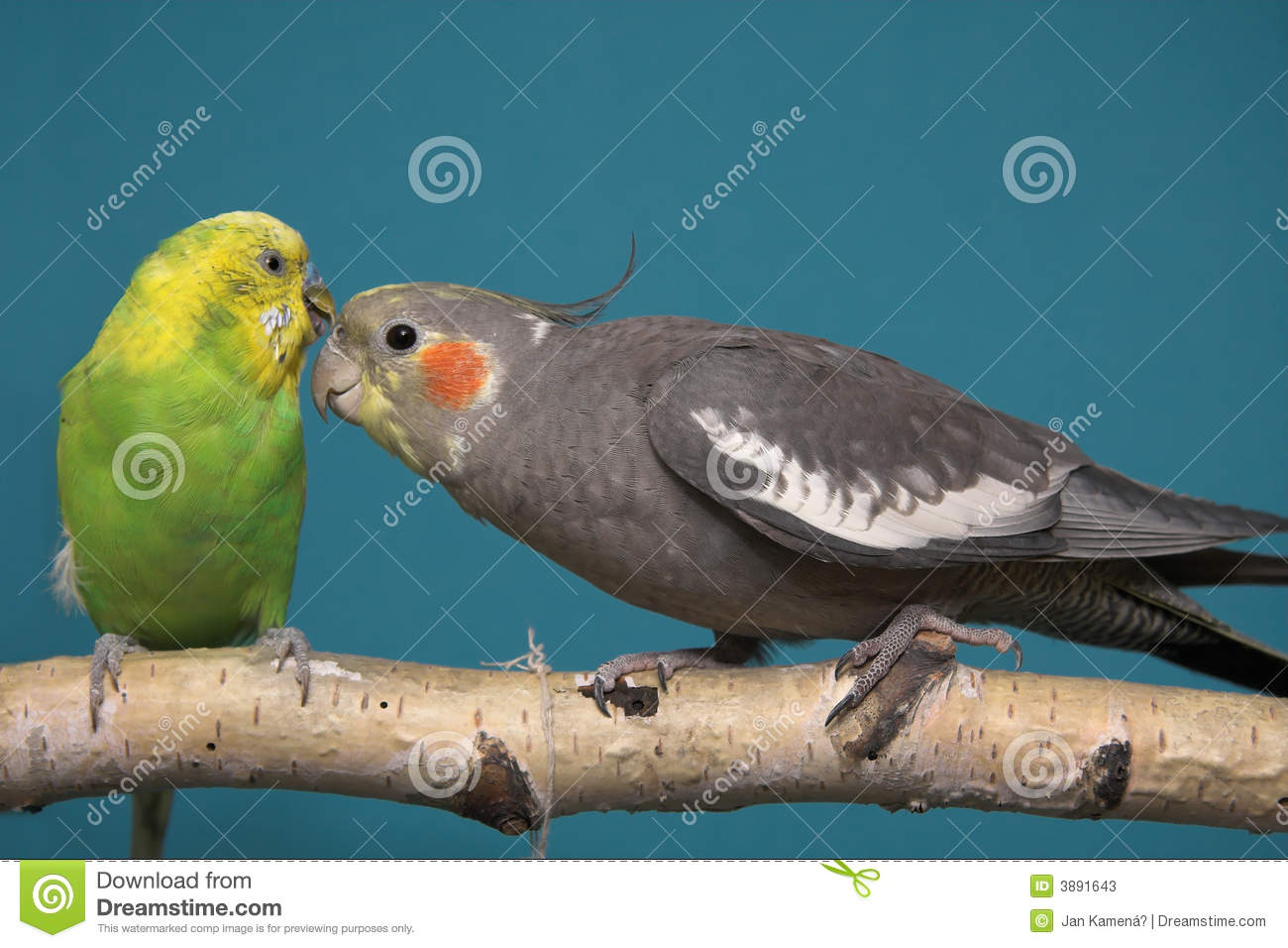 Parakeet and Cockatiel