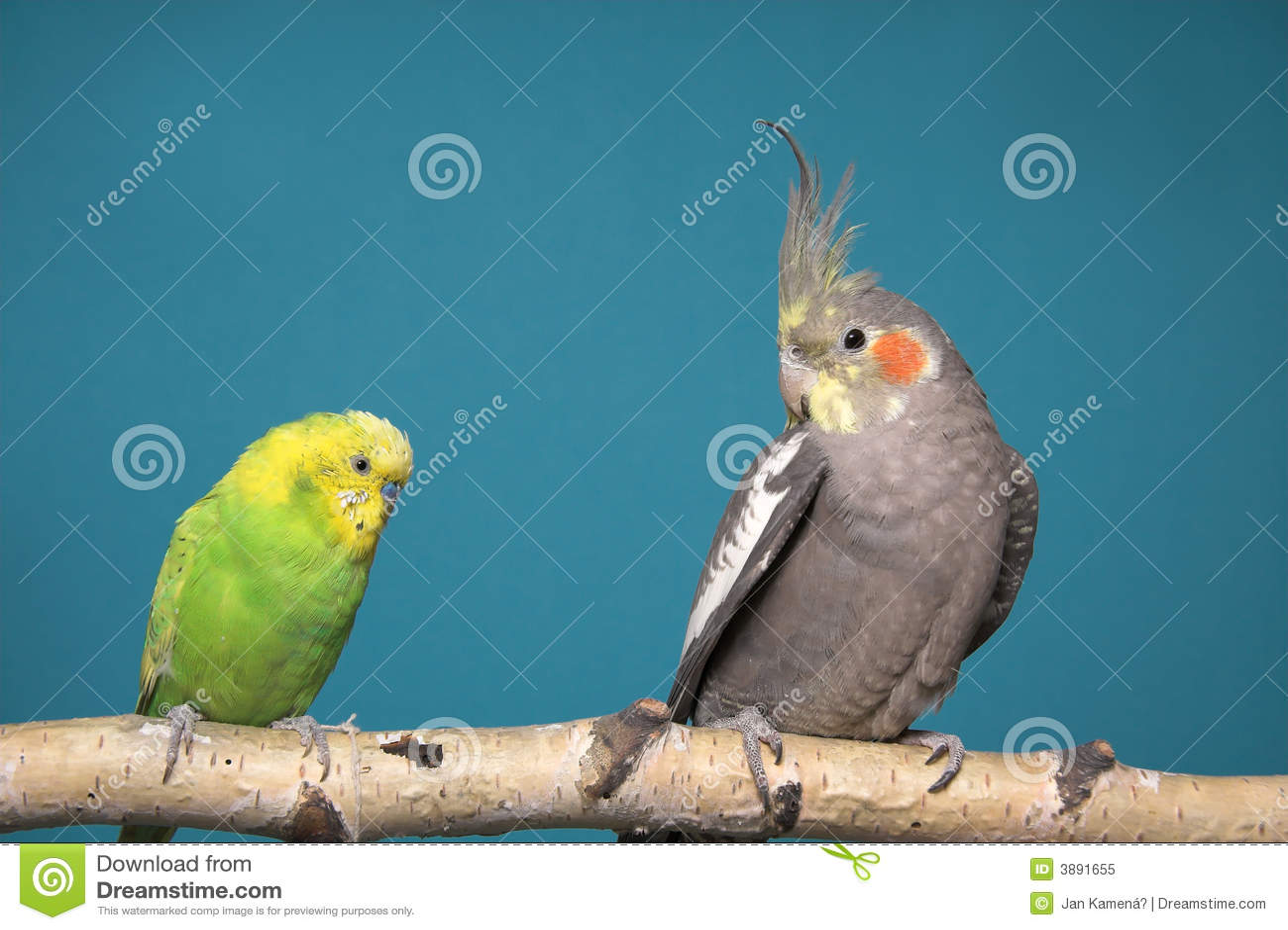 Parakeet e Cockatiel